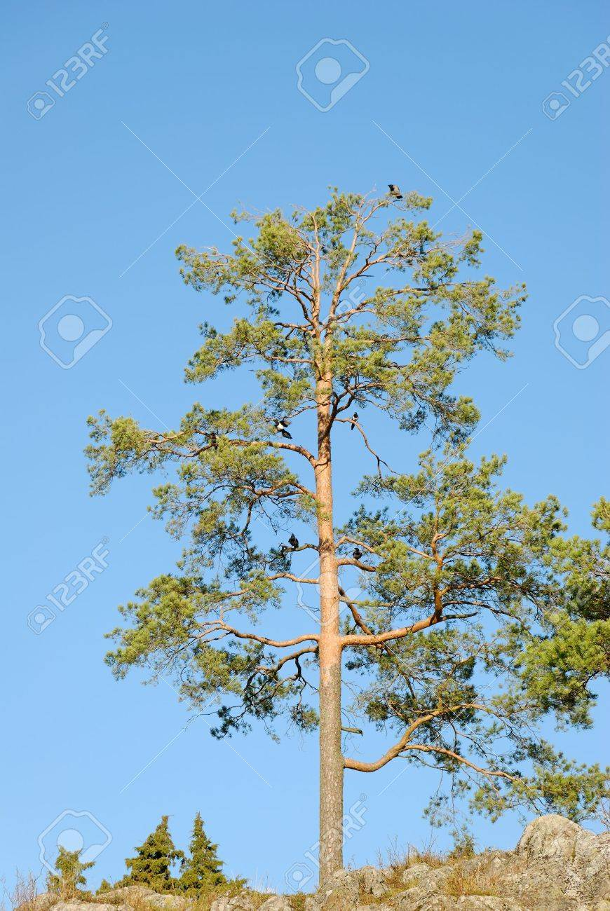 A lonely pine tree with crows and magpies in its branches. Stock Photo - 3571309