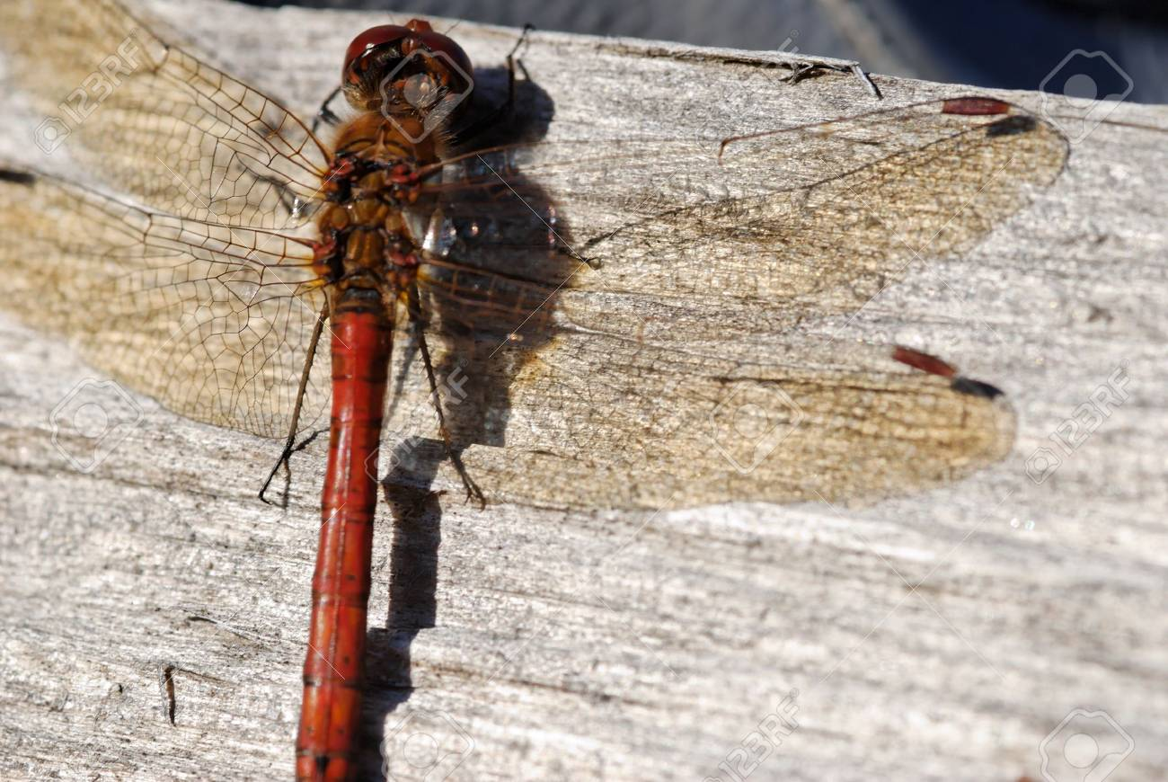A dragonfly sitting on wooden surface. Stock Photo - 3571308