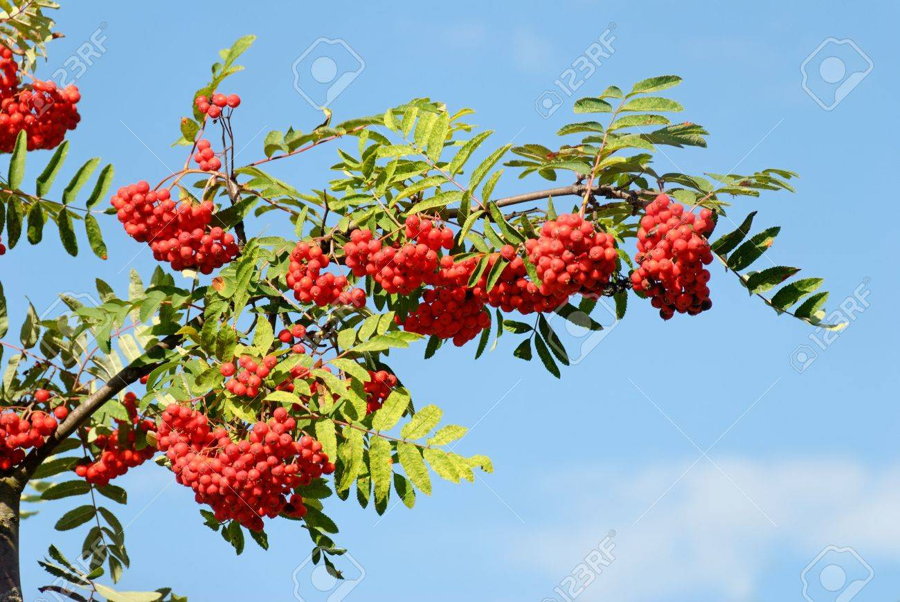 A branch heavy with red Rowan berries against clear blue sky. Stock Photo - 3664293