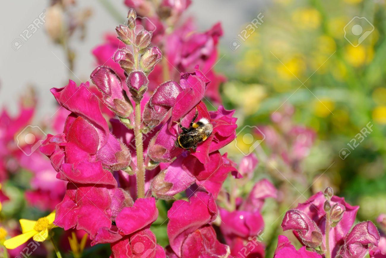 Bumblebee sitting on Snapdragon flower. Stock Photo - 3664287