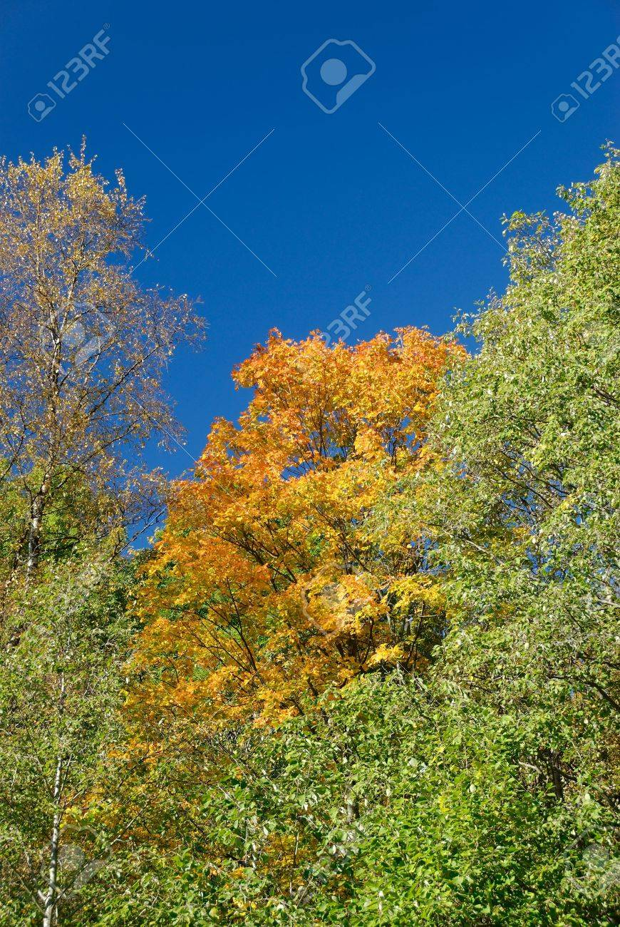 Yellow maple, surrounded by greener trees and polarised blue sky. Stock Photo - 3685978