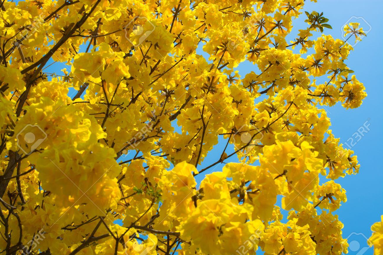 Fleur Jaune D Or Arbre Tabebuia Chrysantha Contre Le Ciel Bleu En