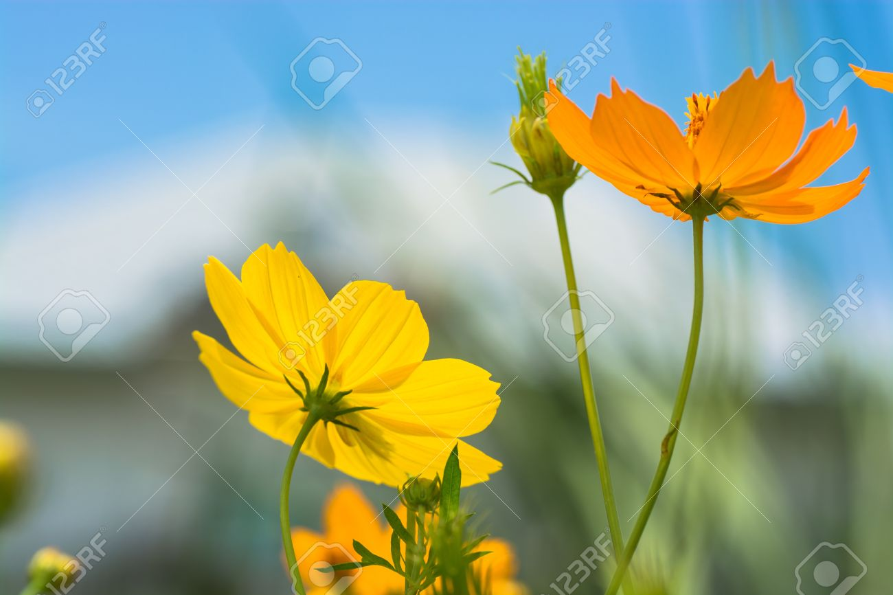 Orange and yellow cosmos flowers with a vague view of a house orange and yellow cosmos flowers with a vague view of a house in the background stock mightylinksfo