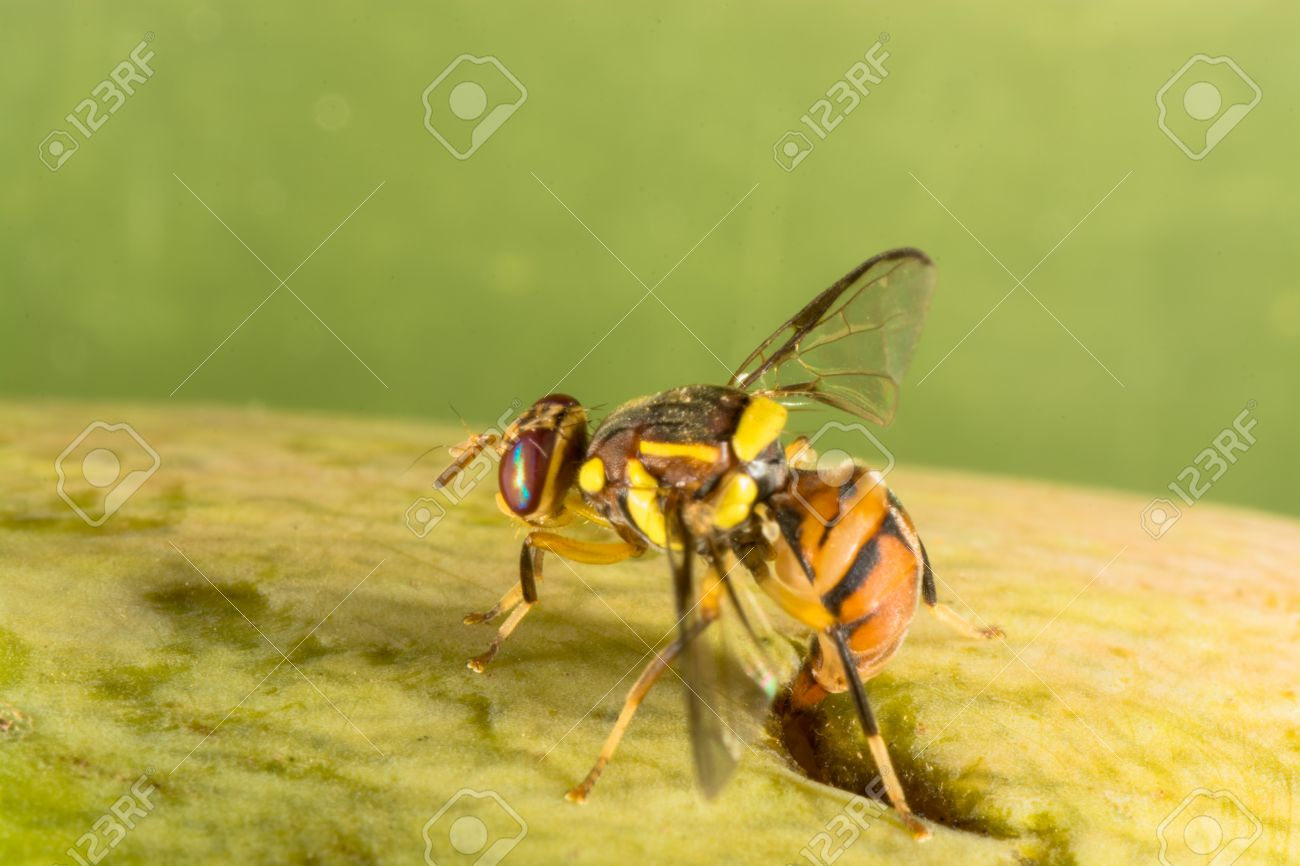 Fruit Fly Laying Her Eggs On Fallen Rotten Mango Stock Photo