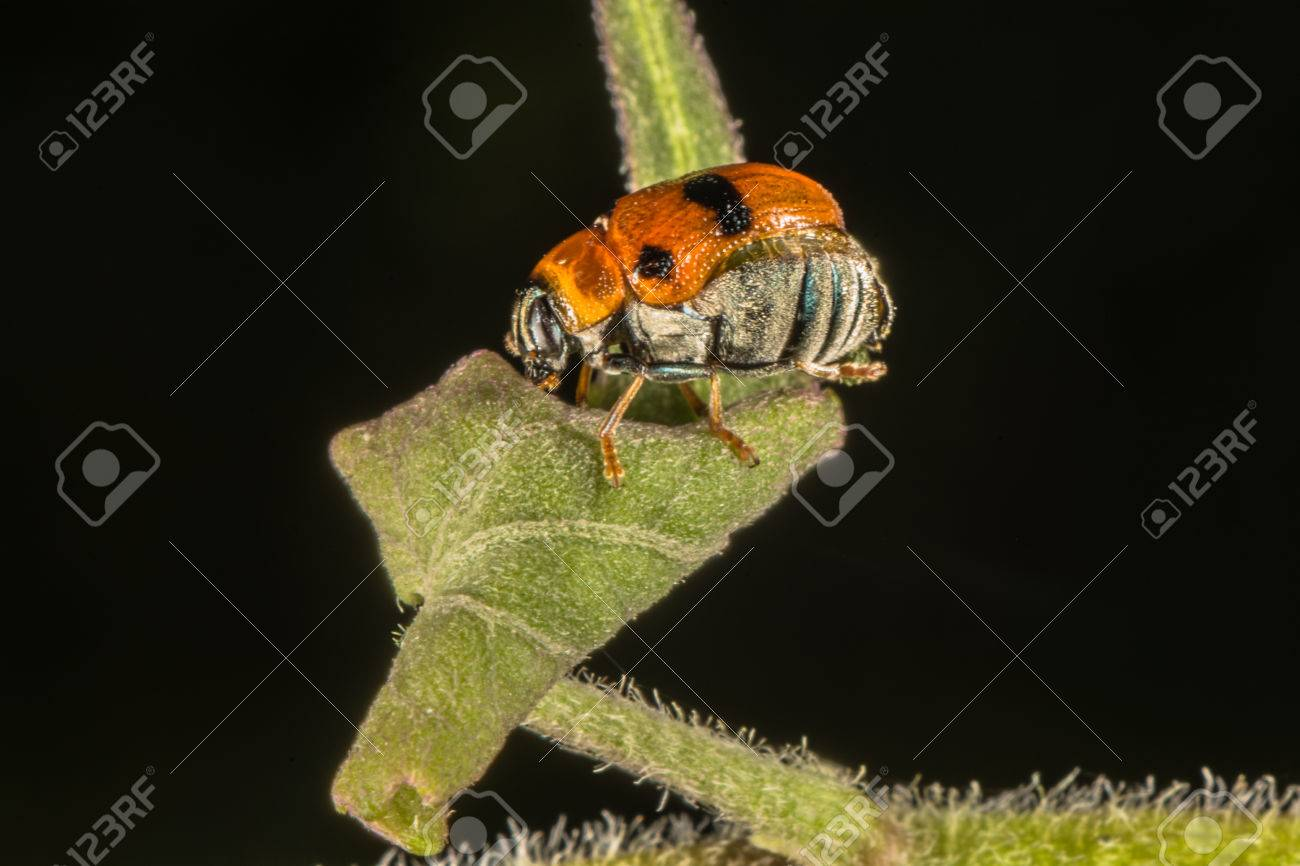 Orange beetle with black spots on dark background
