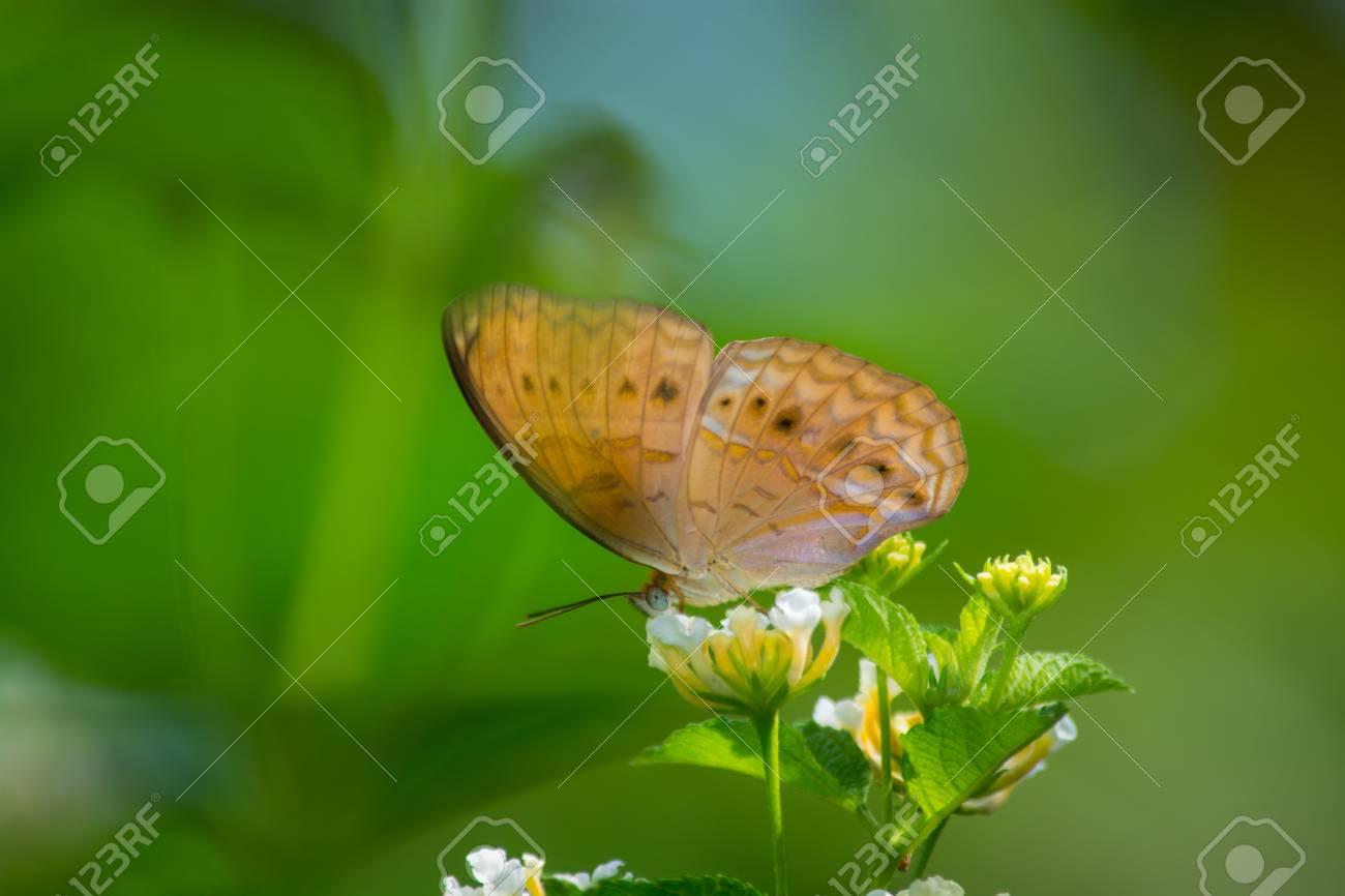 Bộ sưu tập cánh vẩy 5 - Page 4 40816224-little-yeoman-butterfly-cirrochroa-surya-on-latana-flower-