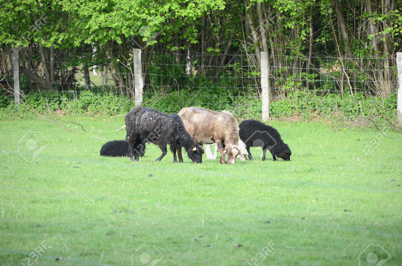 Black and white sheep in a meadow. - 156431035