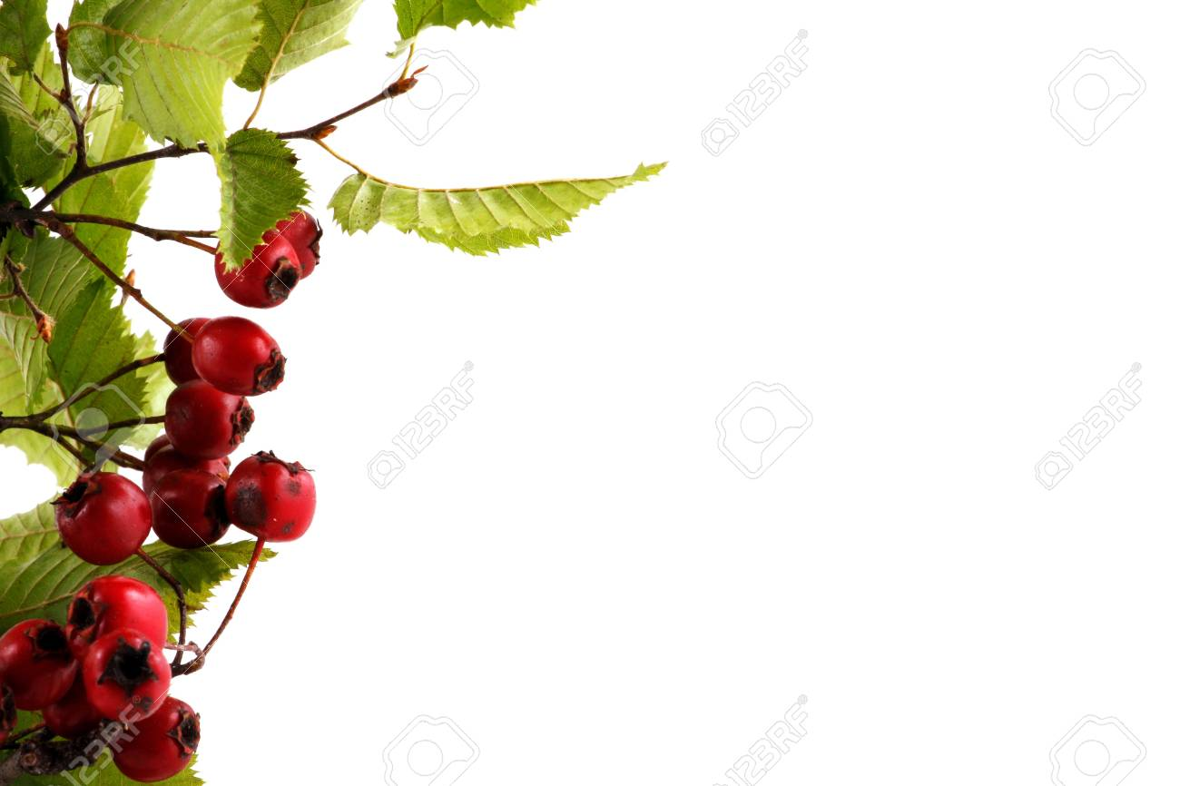 Branch with red berries, isolated on white Stock Photo - 8044788