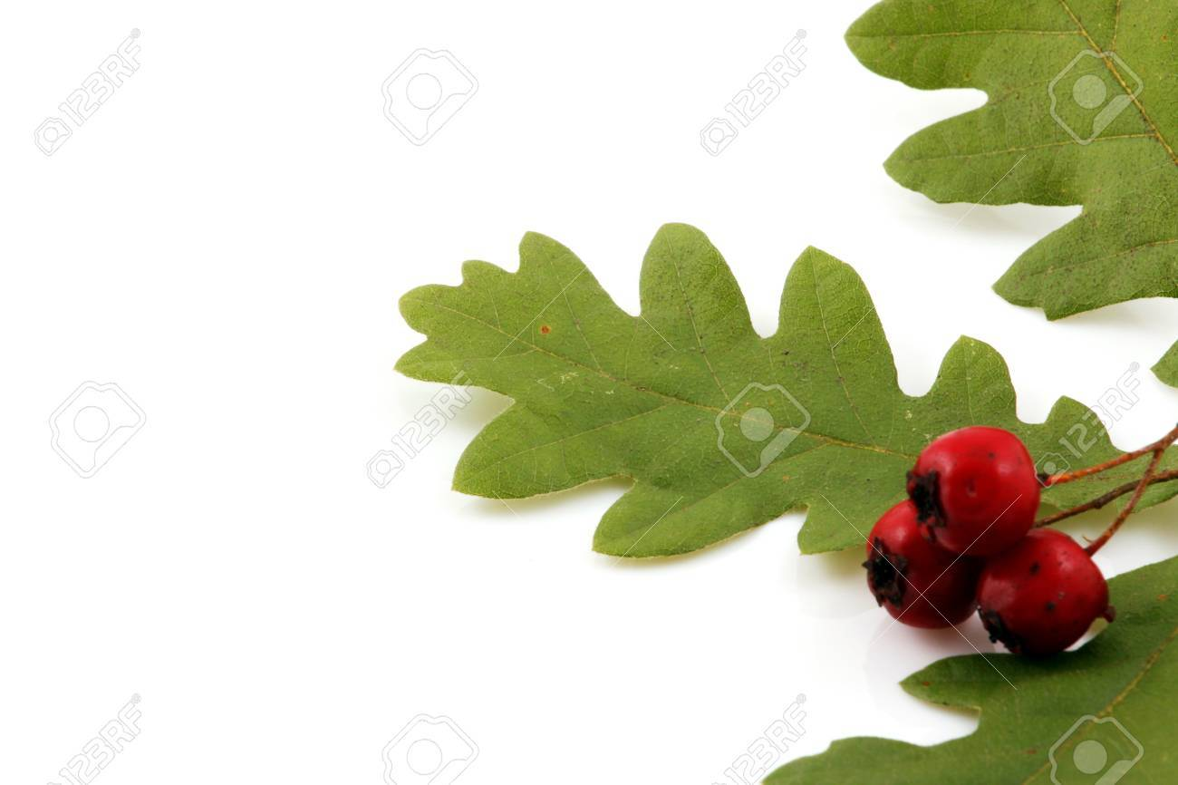 Oak branch with red berries, isolated on white Stock Photo - 8044797