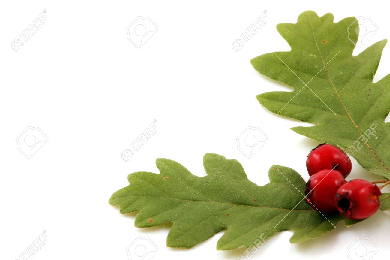 Oak branch with red berries, isolated on white Stock Photo - 8044792