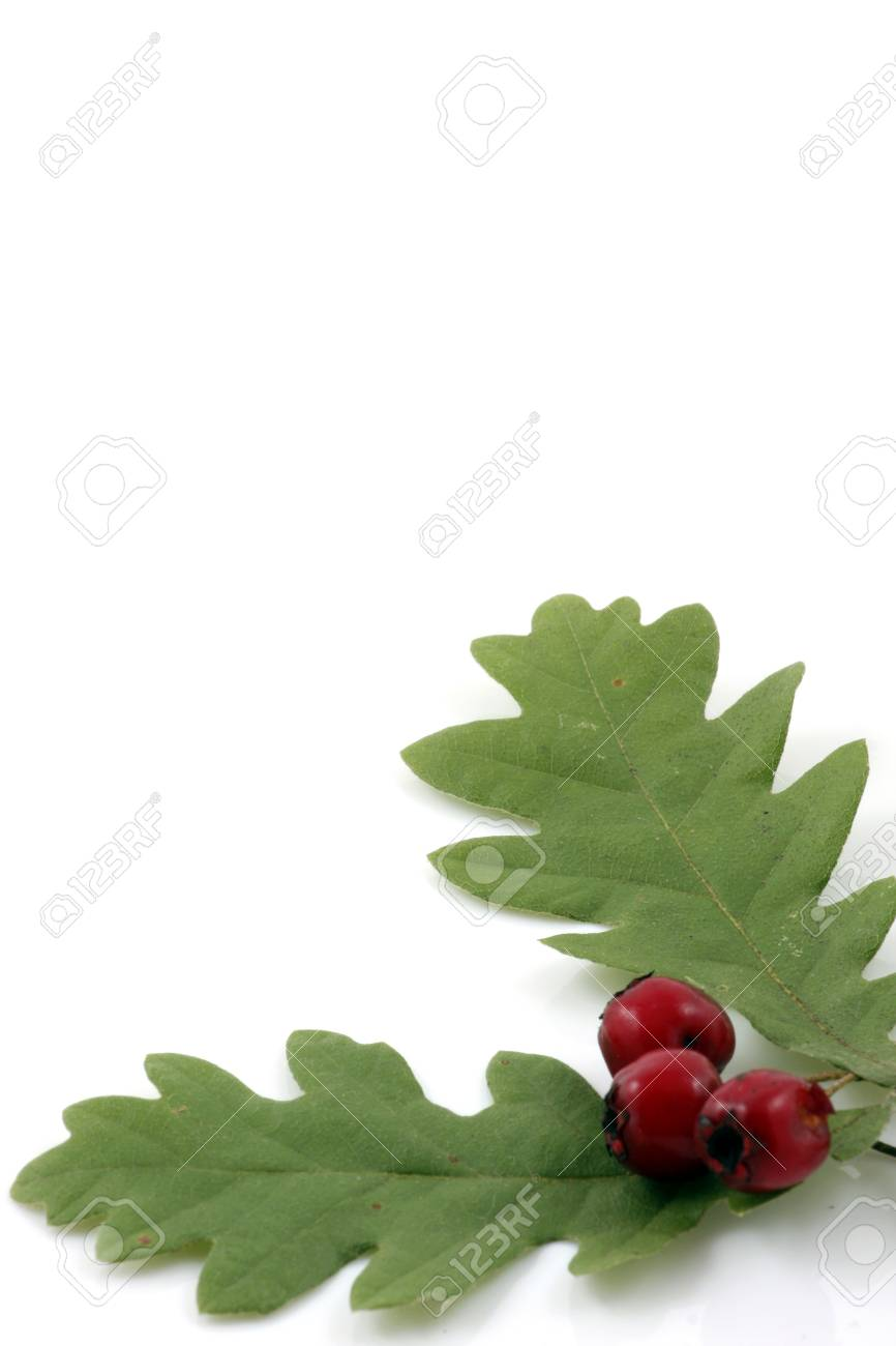 Oak branch with red berries, isolated on white Stock Photo - 8044780