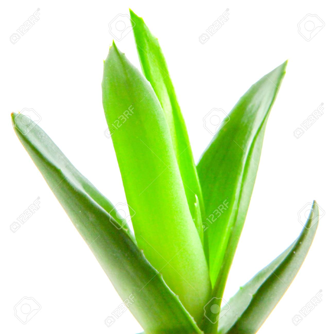 aloe vera plant isolated on white background banque d'images et
