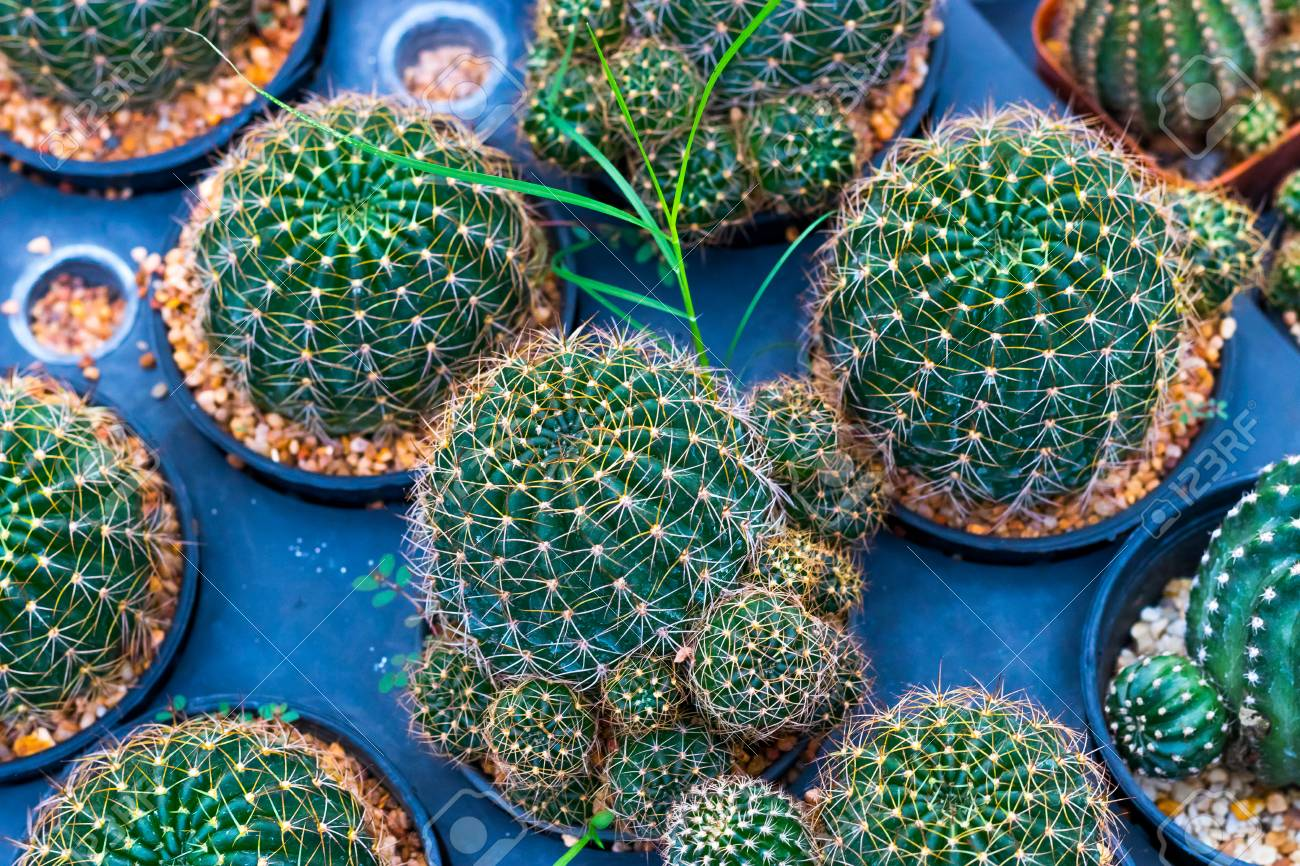 Mammillaria Nivosa Cactus Plants On Blue Background Stock Photo Picture And Royalty Free Image Image 121964374