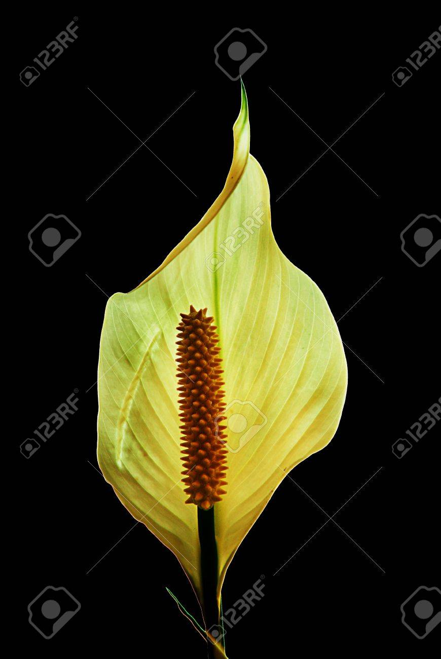 Beautiful Peace Lily Flower With Black Background Best For Mobile Stock Photo Picture And Royalty Free Image Image 10689061