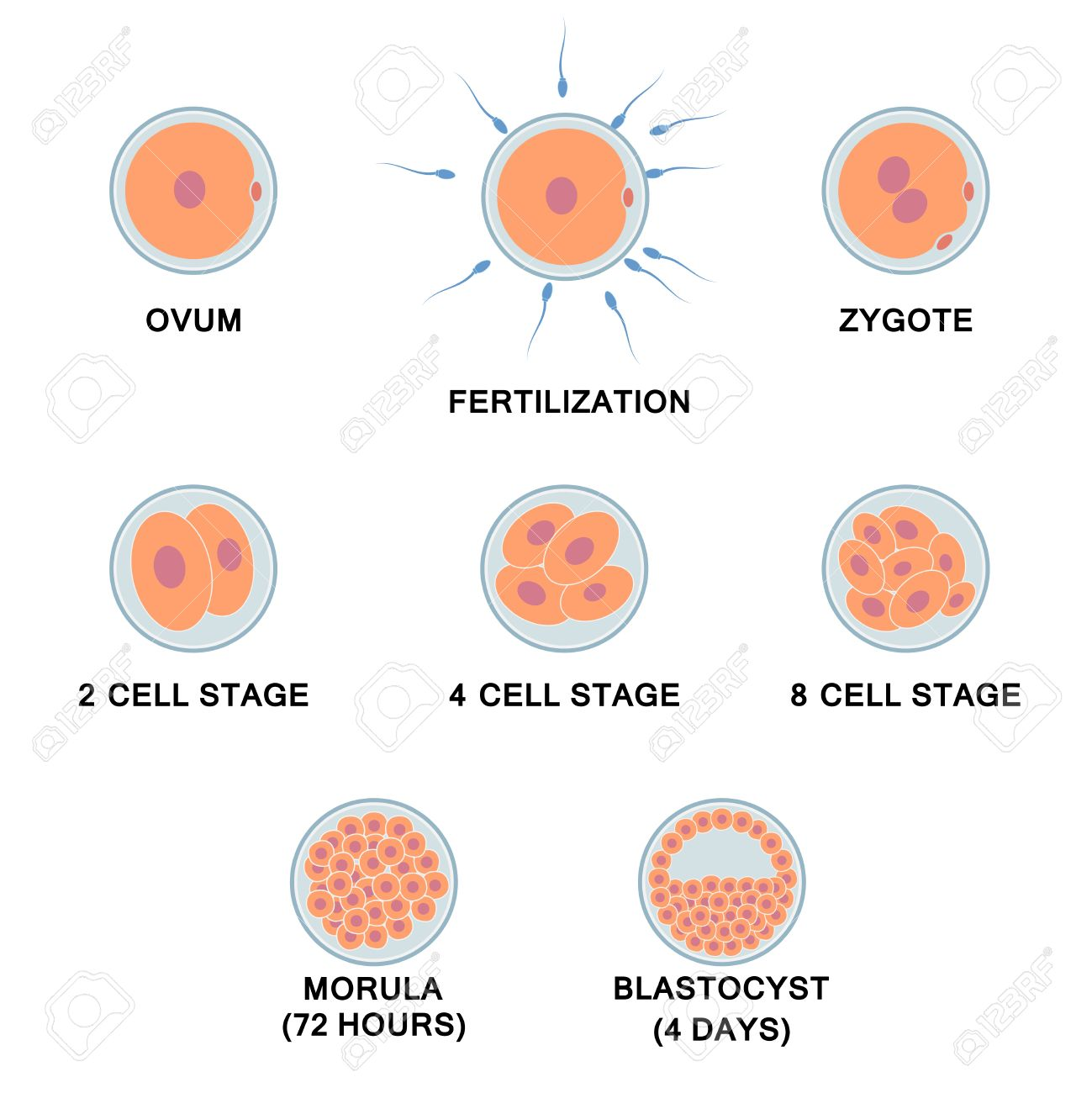 Development Of The Human Embryo Images Of Stages From Ovum To