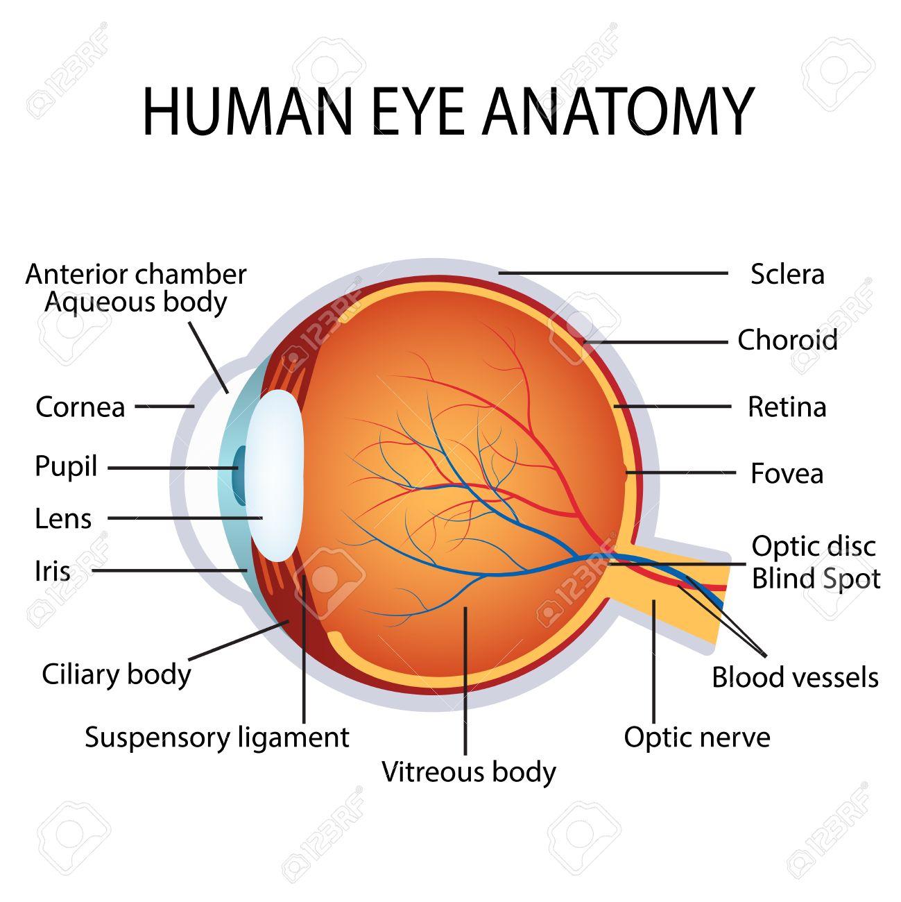 Ilustración de la anatomía ojo humano en el fondo blanco