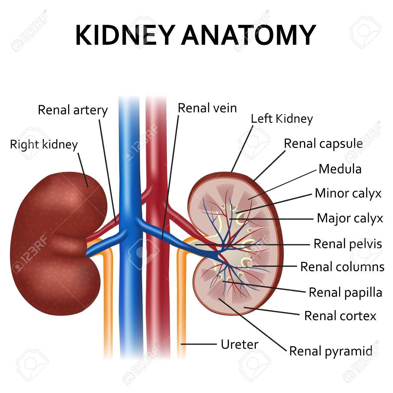 Illustration Of Diagram Of Human Kidney Anatomy. Royalty Free ...