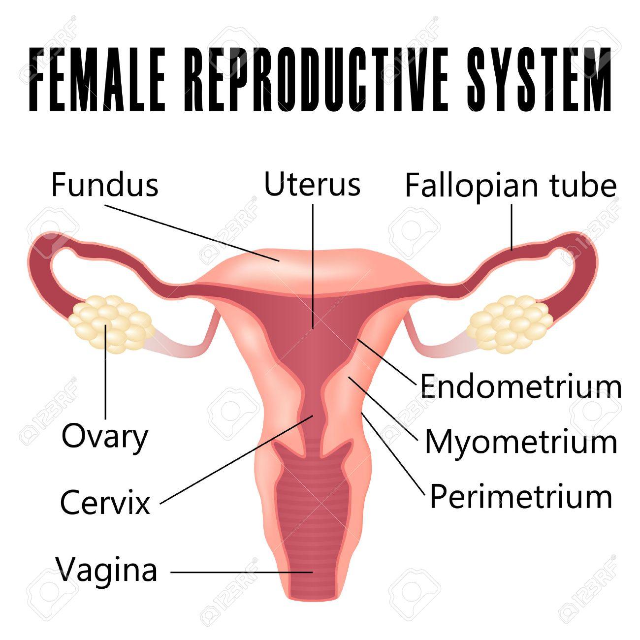 Sistema Reproductivo Femenino, El Esquema De útero Y Ovarios ...