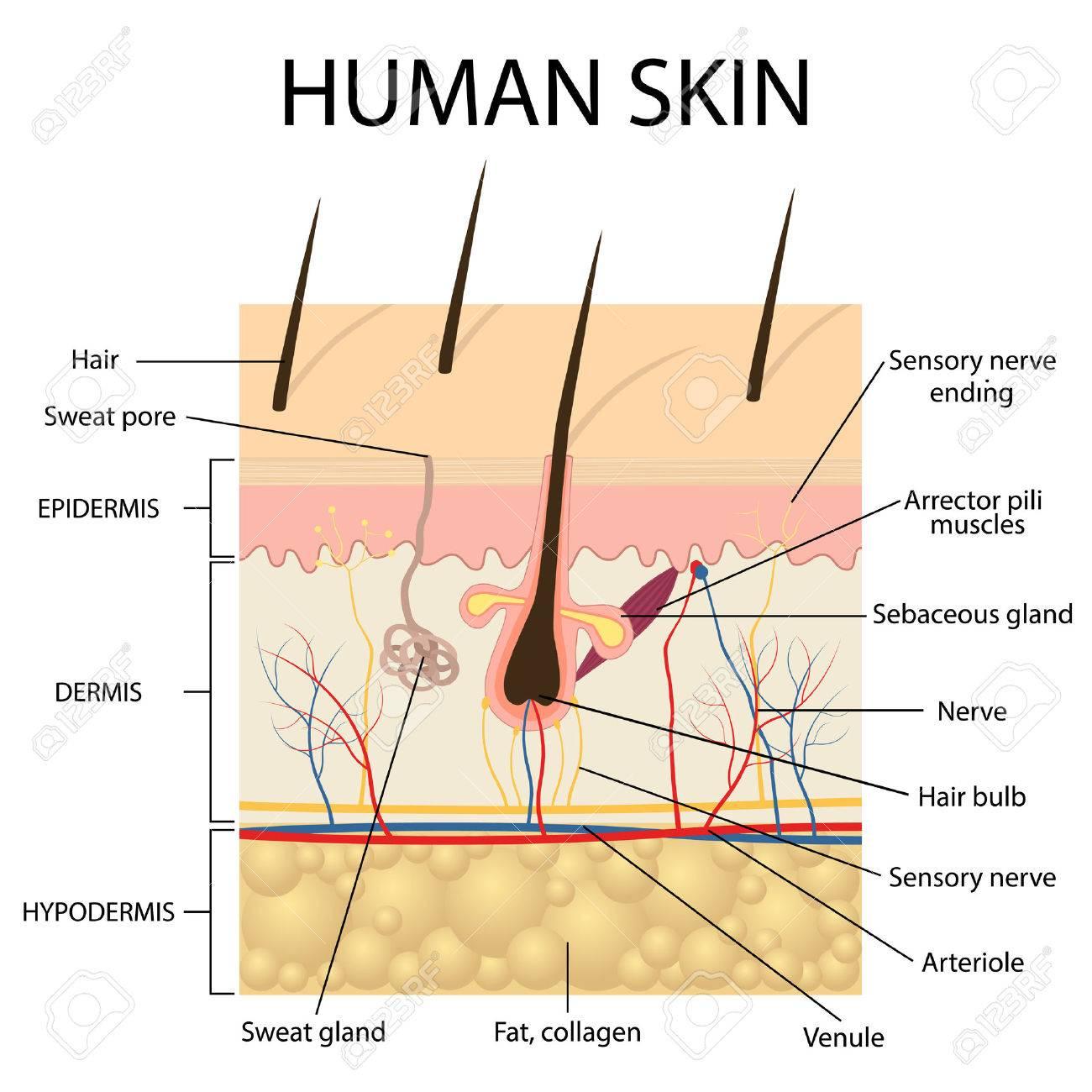 Illustration Of Human Skin And Hair Anatomy. Royalty Free Cliparts ...