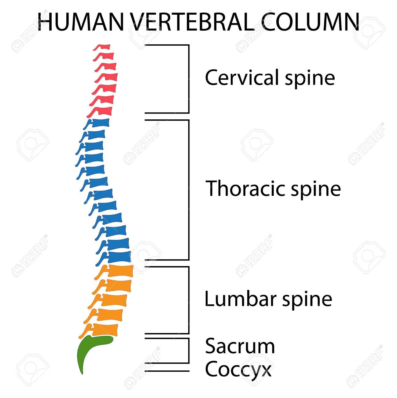 Diagrama De Una Columna Vertebral Humana Con Nombres De Todas Las ...