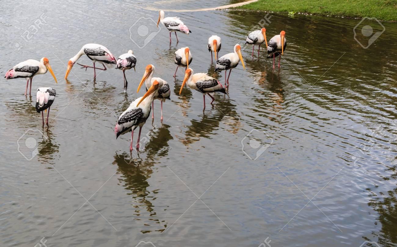 Flock of Painted Stork is fishing in the Lake  Ibis leucocephalus Stock Photo - 16465606