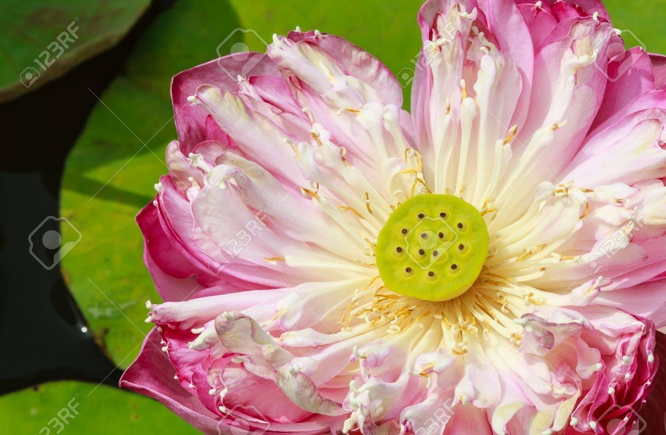 Double Red Lotus, Roseum Plenum, Closeup, showing lotus seeds  Nelumbo nueifera gaertn Stock Photo - 16465608