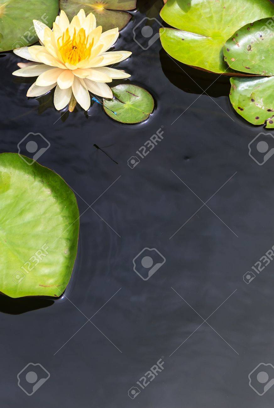 Water Surface with Floating Yellow Water Lily and Green Leaves Stock Photo - 16878314