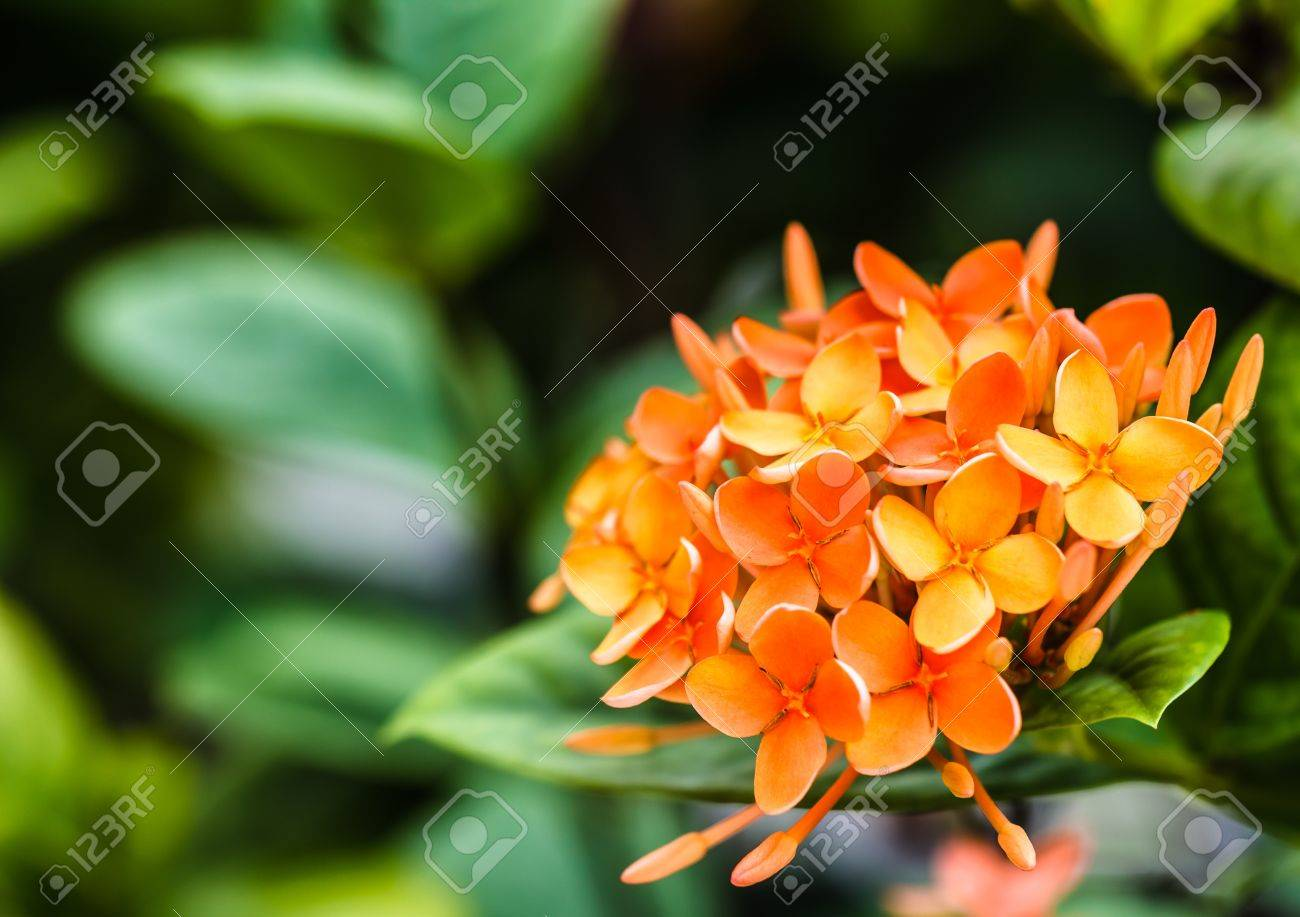Bunch of Orange Ixora, West Indian Jasmine  Ixora, spp  , Closeup Stock Photo - 20457461