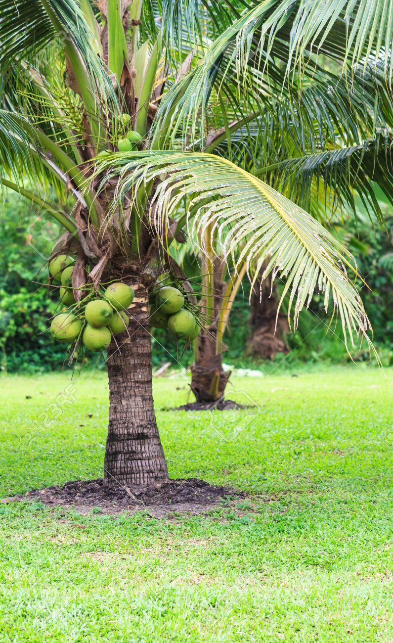 coconut tree information