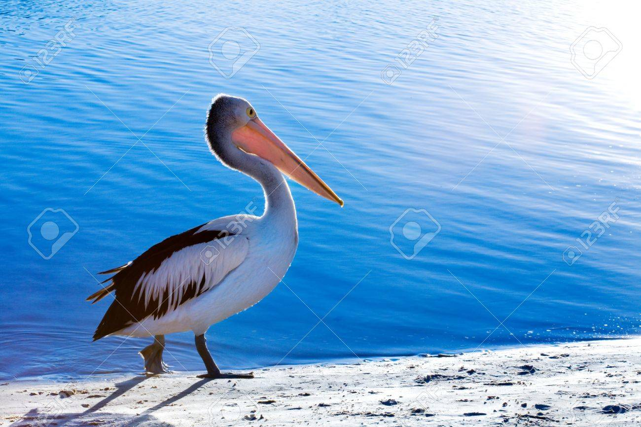 A pelican walks along the beach next to sparkling blue water Stock Photo - 1366748