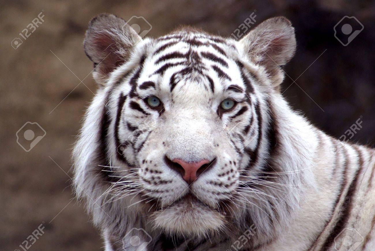 bengal tiger - 1289083