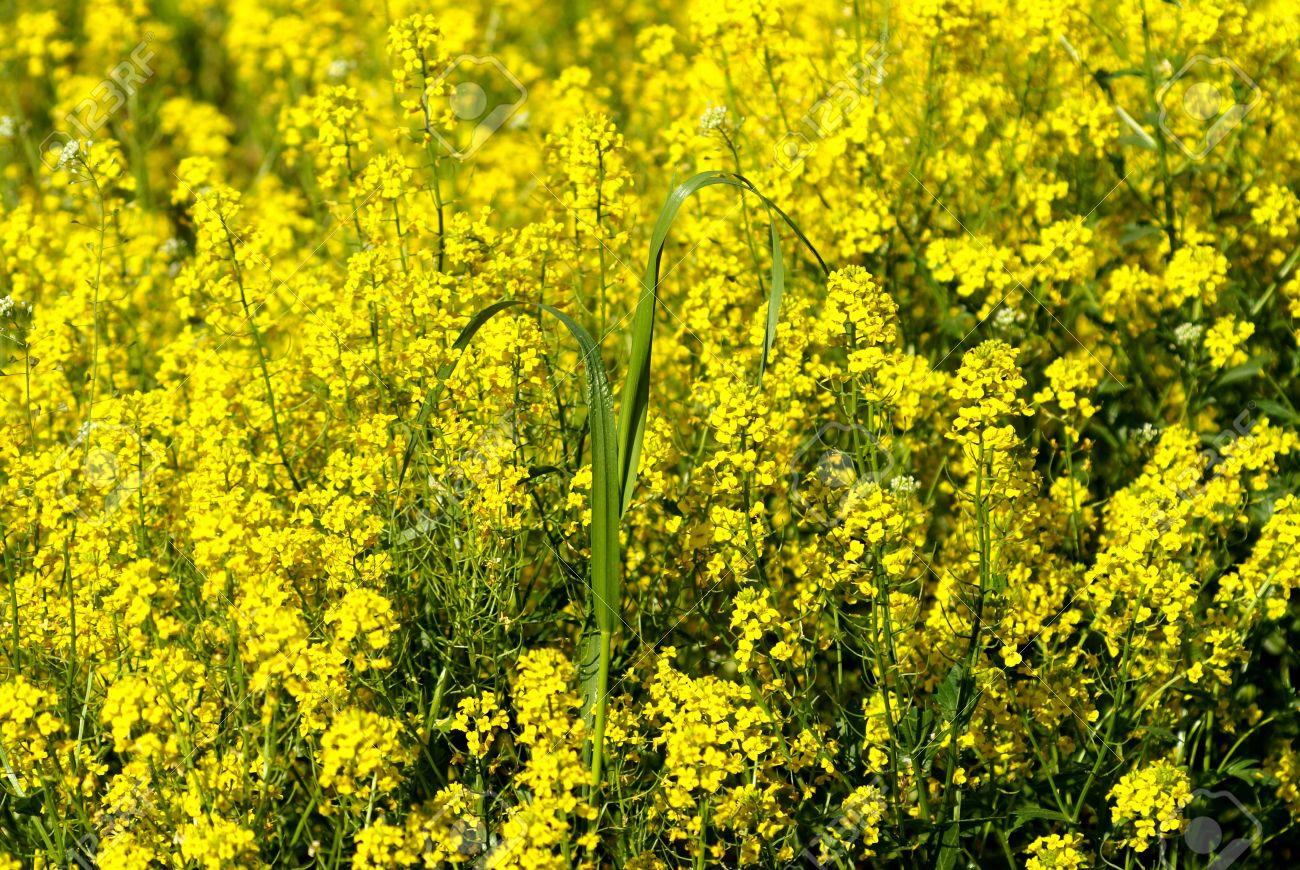 Field of the yellow flowers sun grass stock photo picture and field of the yellow flowers sun grass stock photo 1876155 mightylinksfo
