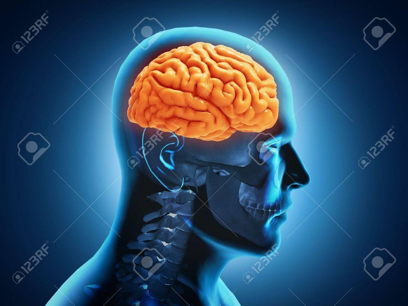 Human Brain Anatomy - 17593216