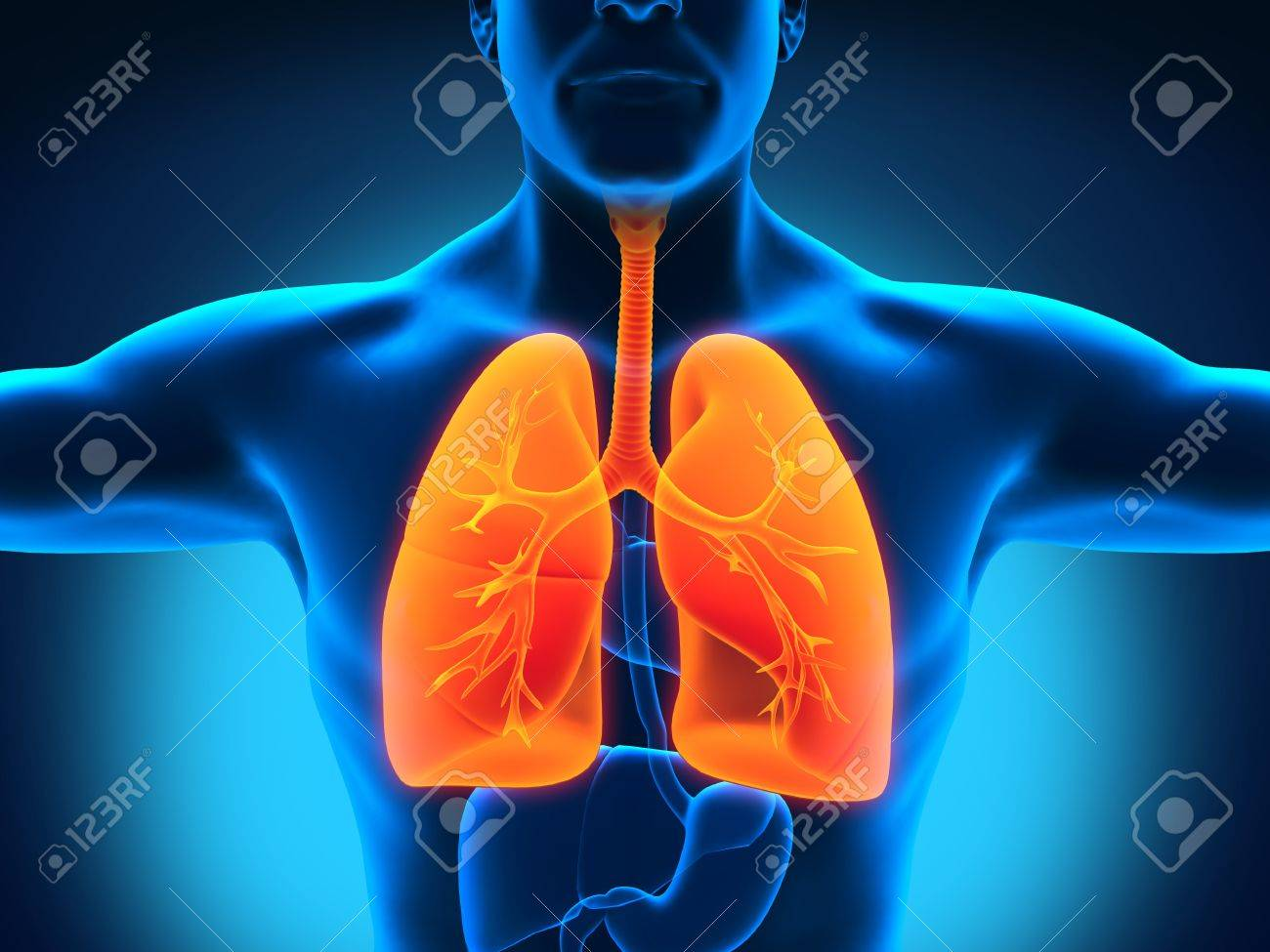 Male Anatomy Of Human Respiratory System Stock Photo Picture And