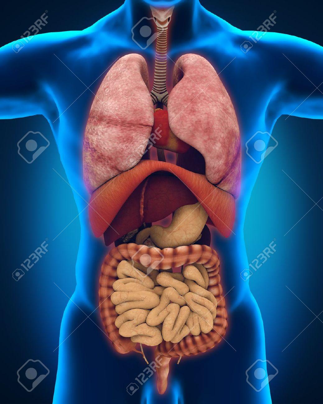 Lujo Vista De órganos En El Cuerpo Composición - Anatomía de Las ...
