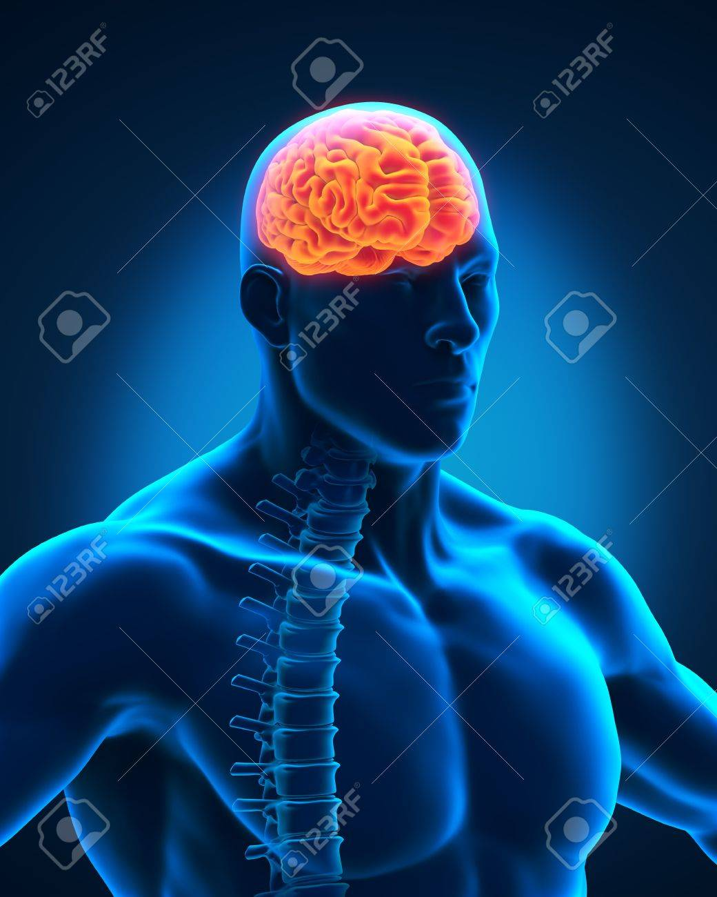 Spinal Cord and Brain Anatomy Stock Photo - 19458705