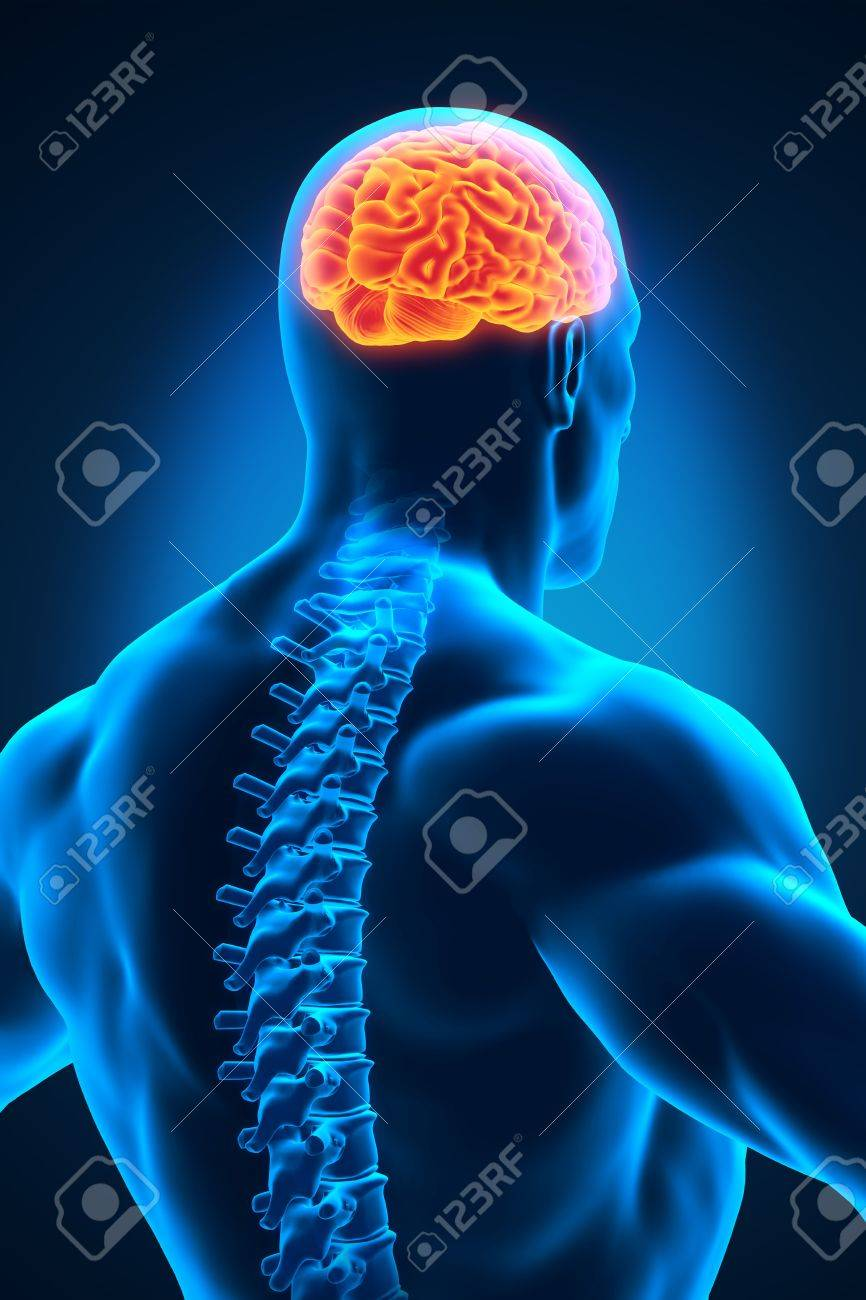 Spinal Cord And Brain Anatomy Stock Photo, Picture And Royalty Free ...