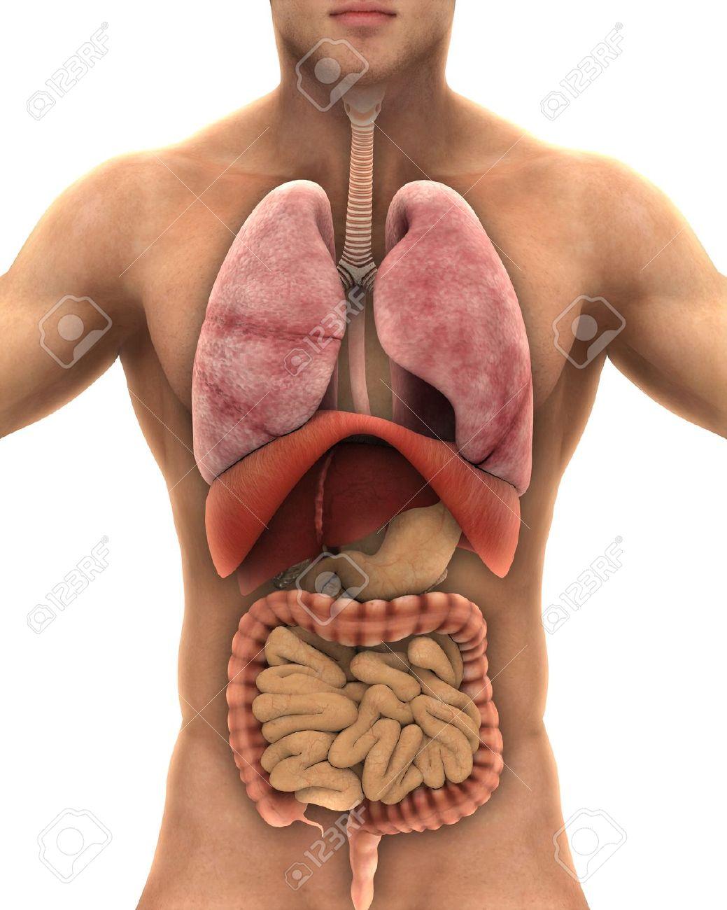Menschlicher Körper Anatomie Auf Weißen Hintergrund Lizenzfreie ...