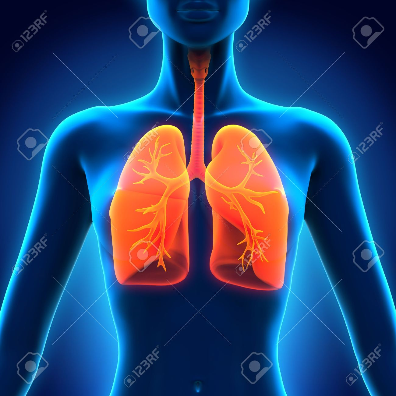 Female Anatomy Of Human Respiratory System Stock Photo Picture And