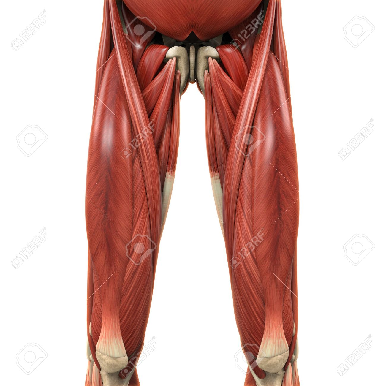 Upper Legs Muscles Anatomy Stock Photo Picture And Royalty Free