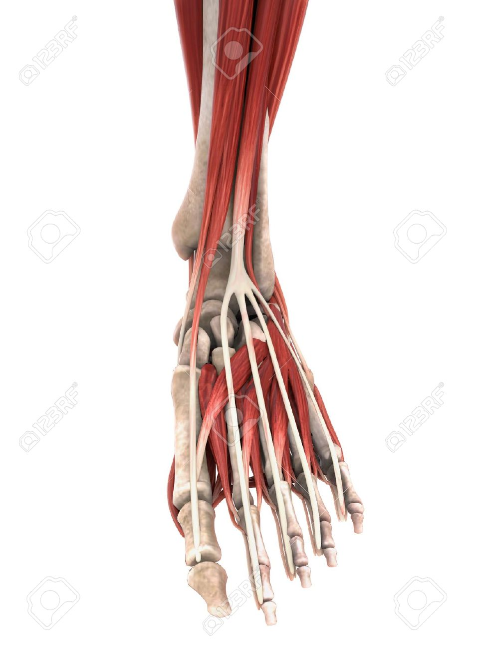 Human Foot Muscles Anatomy Stock Photo Picture And Royalty Free