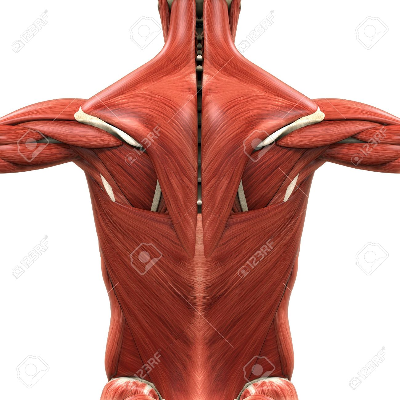 Muscular Anatomy Of The Back Stock Photo Picture And Royalty Free