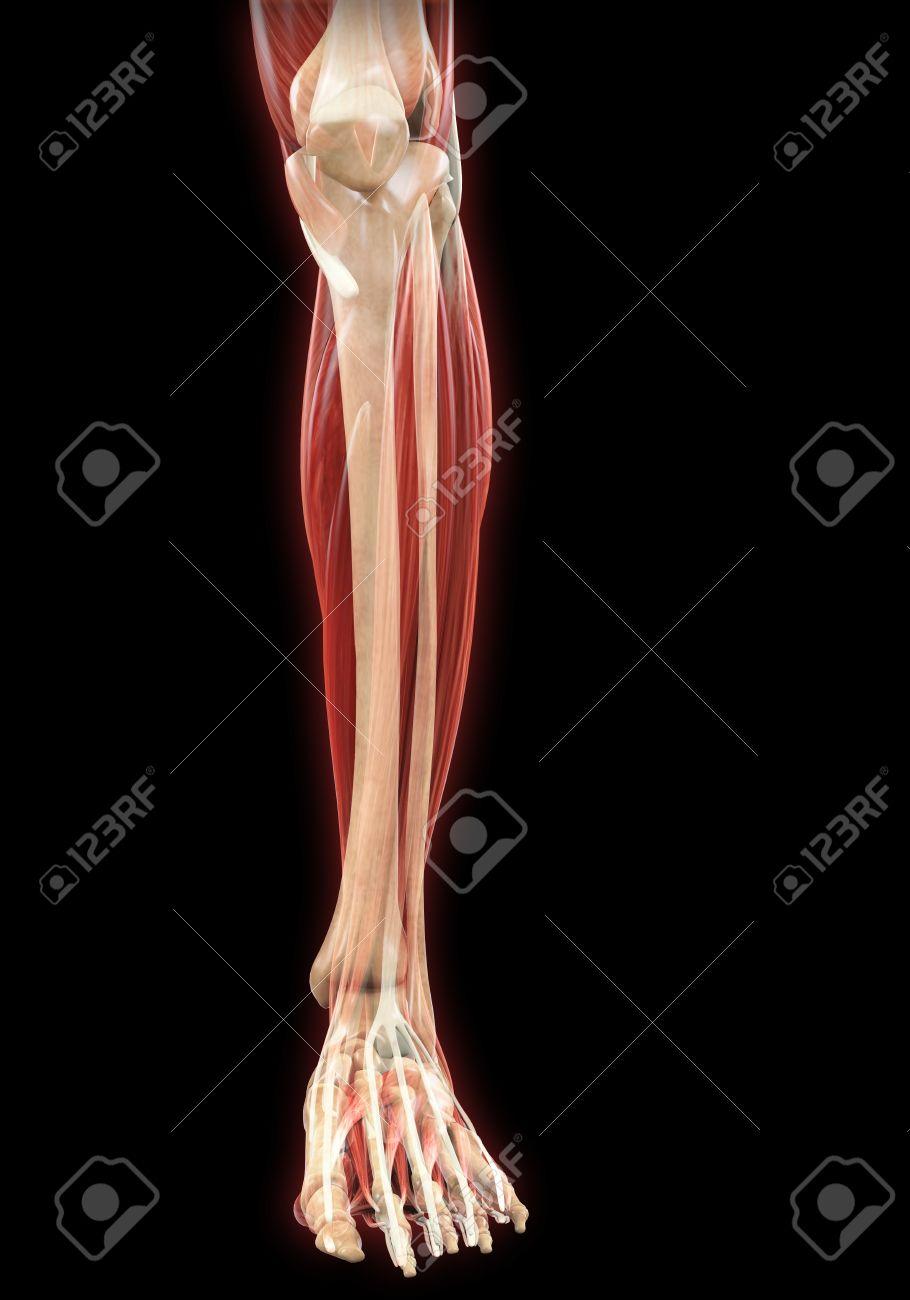 Lower Legs Muscles Anatomy Stock Photo - 21459819