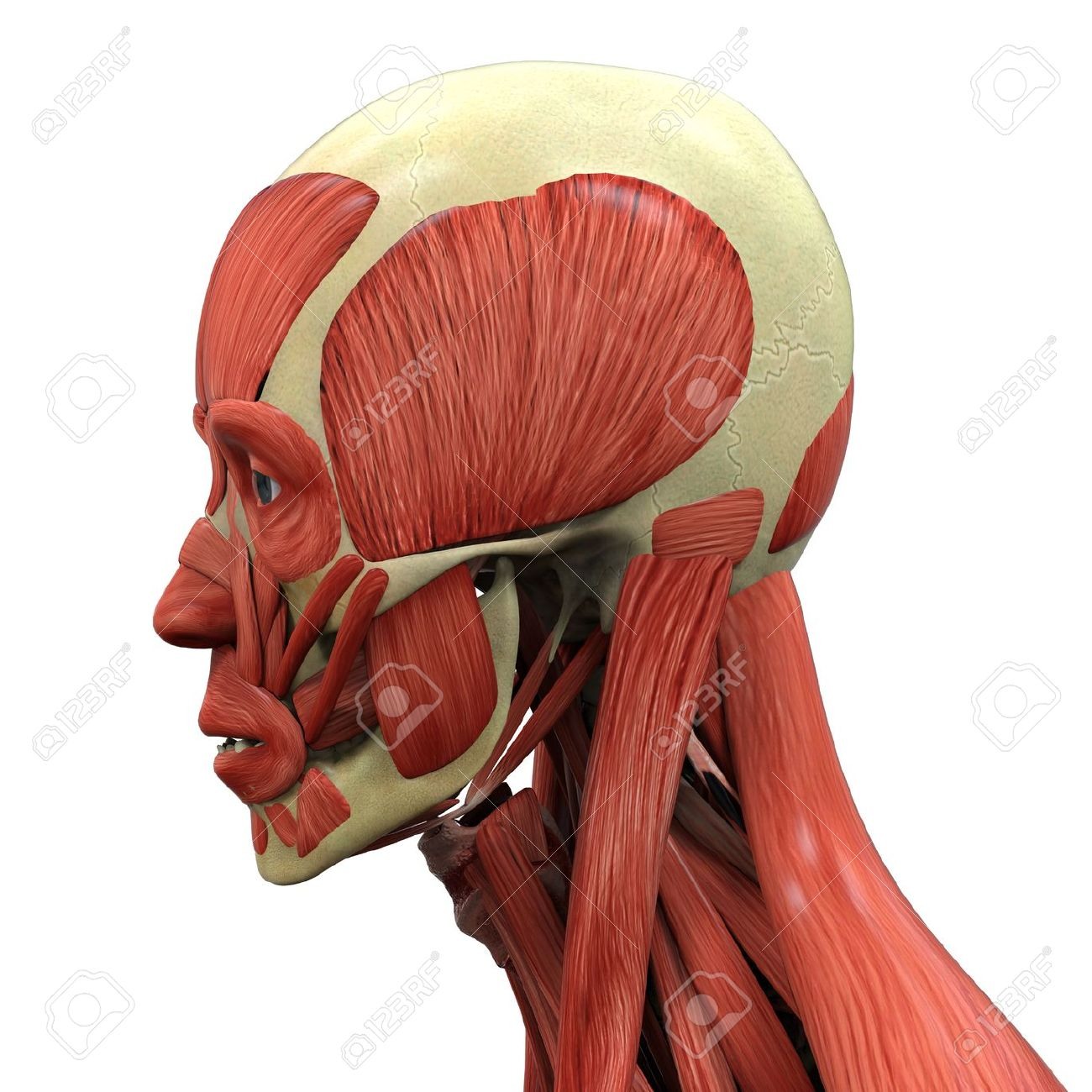 Human Face Anatomy Stock Photo Picture And Royalty Free Image