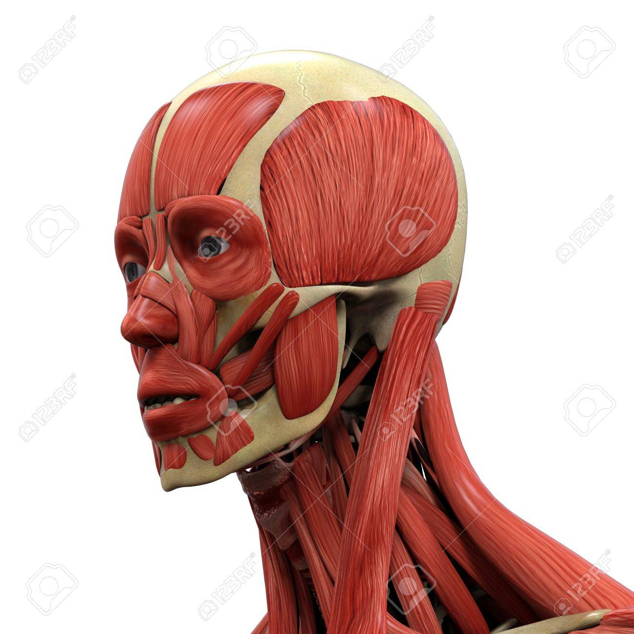 Human Face Anatomy Stock Photo, Picture And Royalty Free Image ...