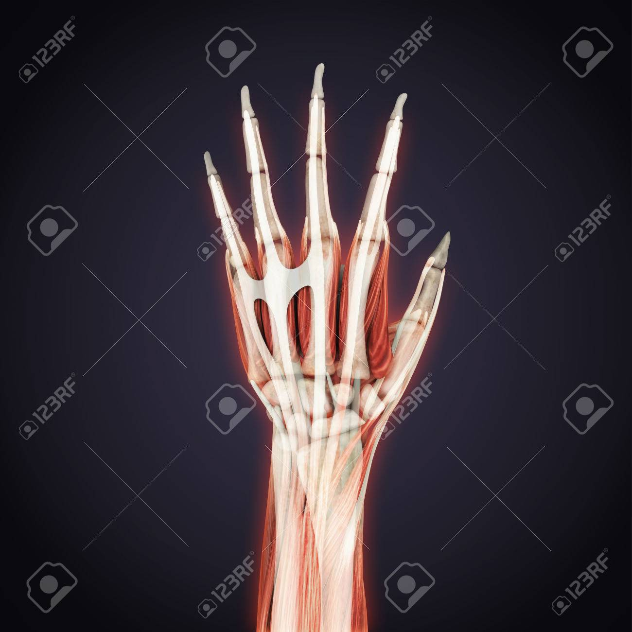 Human Hand Anatomy Illustration Stock Photo Picture And Royalty