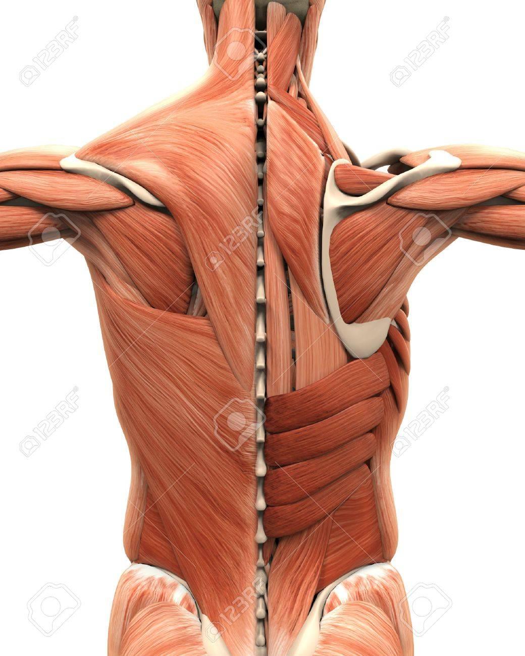 Anatomía Muscular De La Espalda Fotos, Retratos, Imágenes Y ...