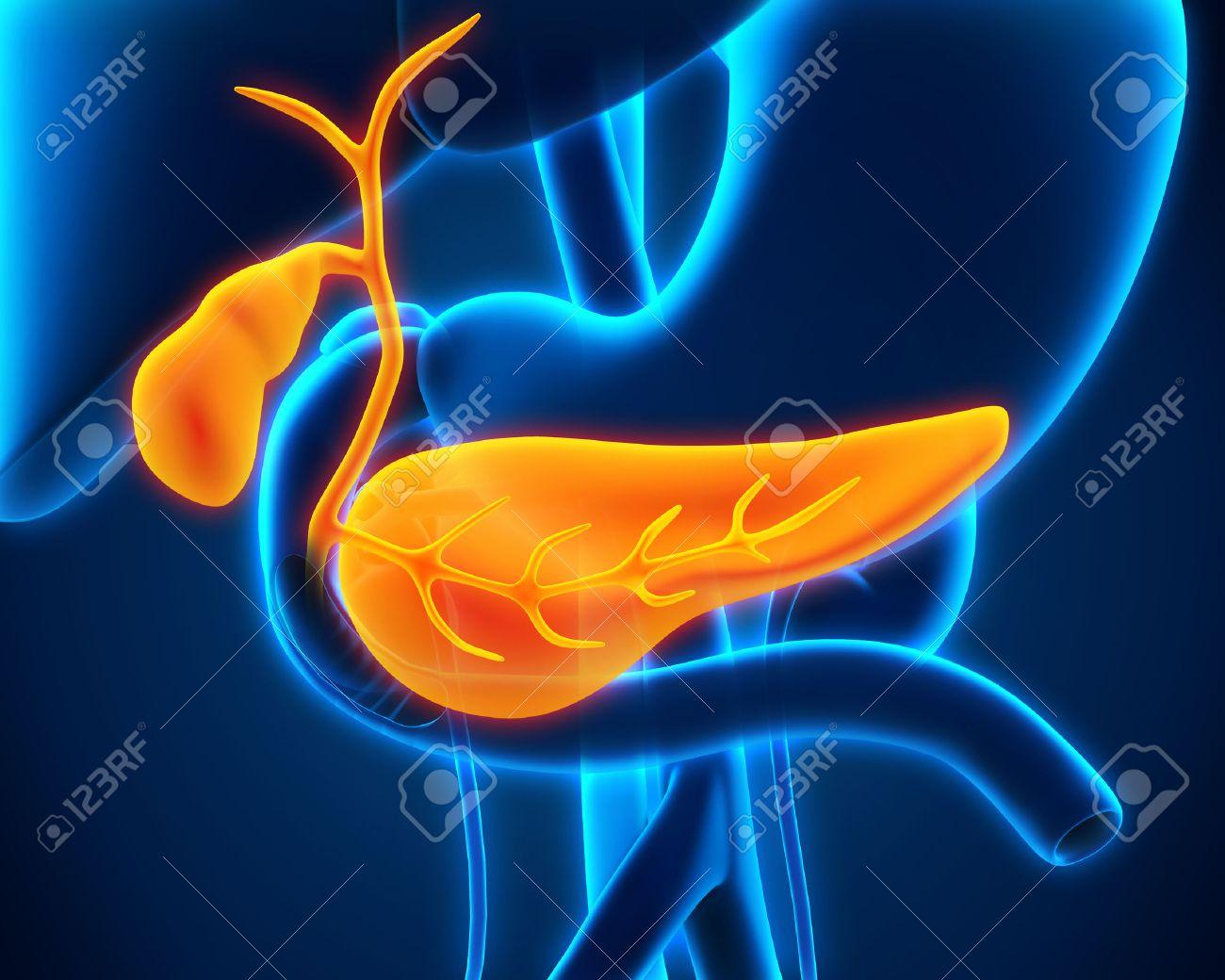 Gallenblase Und Bauchspeicheldrüse Menschliche Anatomie Lizenzfreie ...