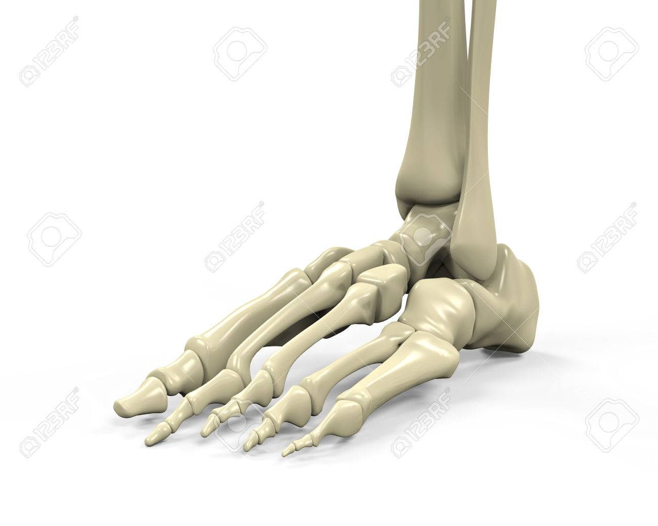 Foot Skeleton Anatomy Stock Photo, Picture And Royalty Free Image ...