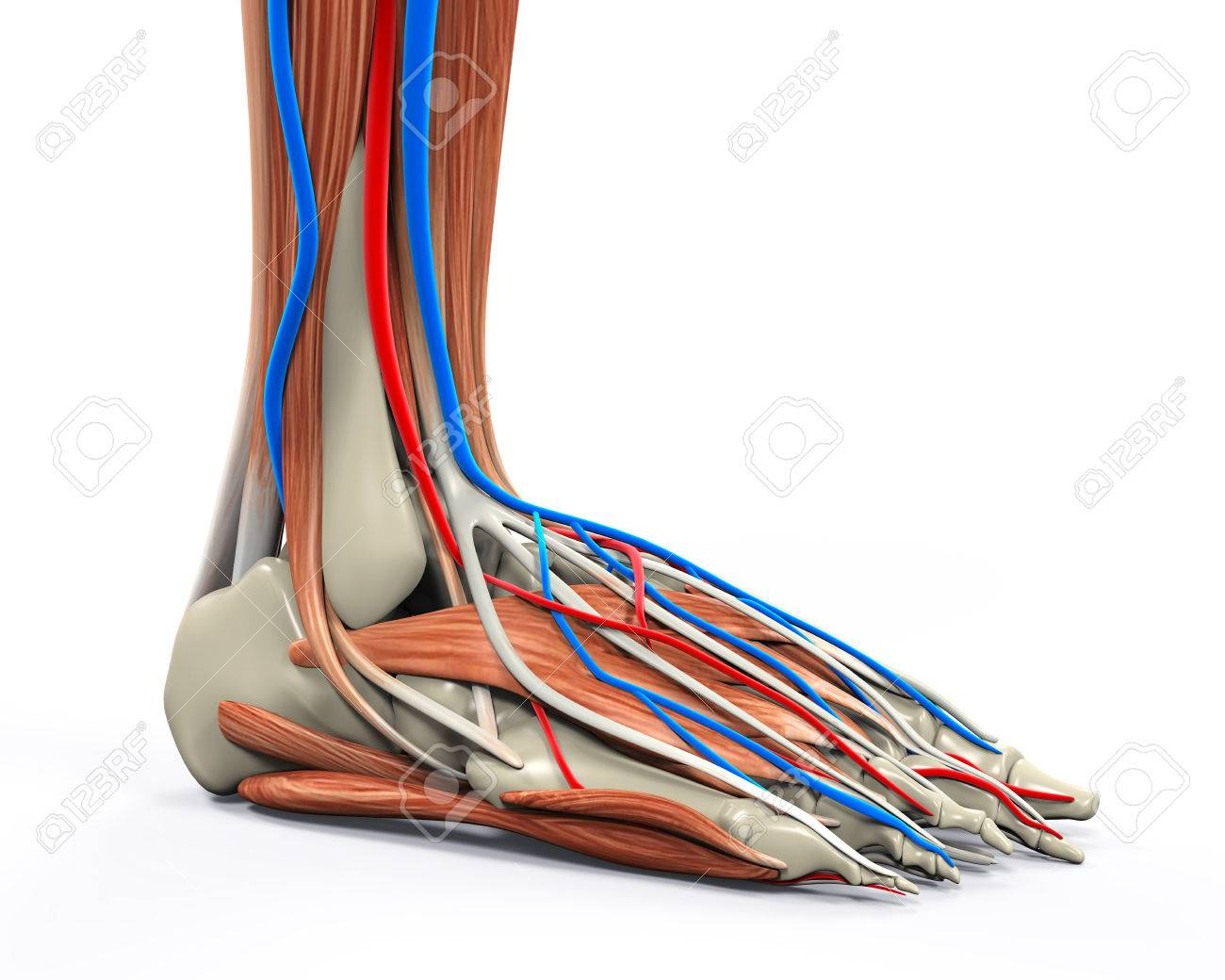 Human Foot Muscles Anatomy Stock Photo, Picture And Royalty Free ...